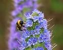 Echium, bee